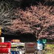・ 大和 ふれあいの森 寒桜開花 2018