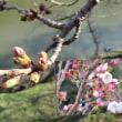 花彩々  桜咲く