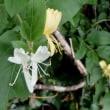 スイカズラの花・・・