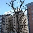 「街路樹の枝落とし」!!「落ち葉掃きから解放」!!