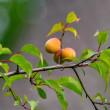 25/May  ブラシの木と紫陽花と梅とササゴイ