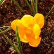 我が家の早春の花がようやく少し咲き始めました。