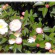 秋から冬にかけての花(^^♪かきねの かきねの まがりかど 「山茶花(さざんか)」
