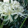 白花ヒガンバナ  開花