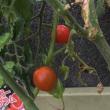 ミニトマト 二つ