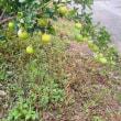 渋柿も採れました