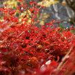 紅葉の長谷寺・パナライカ12-60mm / F2.8-4.0編(奈良県桜井市初瀬)