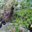ルリカケス幼鳥と成鳥、翼と尾羽の先が違います