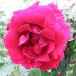 バラが最盛期を迎えました。