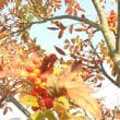 メロリンさんからのお便り ~ 「鳥たちの四季」  「カワセミの春」