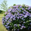 どどーんと紫陽花