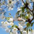 大島桜。。。