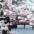 松本城の桜..今年も見れて良かったね.