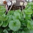 自宅でワサビを栽培する
