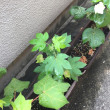 cotton の葉