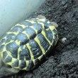 ニシヘルマンリクガメの孵化仔・ハリコっ仔が産卵