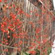 真冬の赤い実。