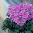 季節の花「プリムラ・マラコイデス」