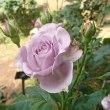 バラ ばら 薔薇