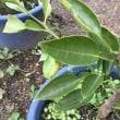 ミニ盆栽用の『柚子のタネを植えた』