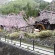 西湖 いやしの里 「根場(ねんば)集落」と河口湖芝桜