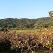立冬の頃の筑波山南麓柿園