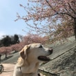 桜を見に海の街へ