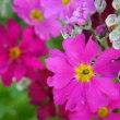 耐寒メラコ うぐいす & あんずの花