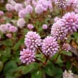 丸くて可愛いピンクの花 『姫蔓蕎麦 (ひめつるそば)』