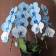 青い胡蝶蘭「 ブルーエレガンス」