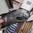 今週末の釣果、主役は石鯛でした