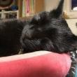 黒猫ジジィです あくび中