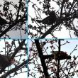 県立相模原公園の「寒桜(カンザクラ)」と「鳥」