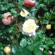 遅咲きでした。ツルバラのコルデスジュビリー