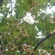 咲きました!  ~中央公園の桜