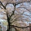 千川通りの桜並木