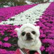 赤羽の土手の芝桜