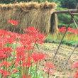 彼岸花と農村風景