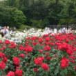 神代植物公園・春のバラフェスタ