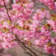 風に揺れる陽光桜 (志摩横山・創造の森)