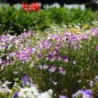 舞鶴公園の花菖蒲