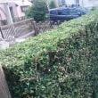 岳父宅の垣根の剪定