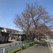 ウオーキング「川コース」→開花状況のチエック→昼食@松のや・湘南台