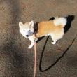 毎日の朝夕お散歩 ハナちゃん10歳