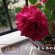 ひろし爺1840の花鳥風月~我家の花壇と鉢の花ー9月Movie&Photo!