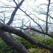 河津桜が一輪
