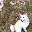 佐倉市の桜