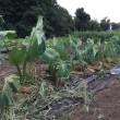 少し逞しくなったような里芋に藁で乾燥防止