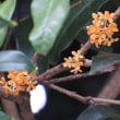 金木犀一枝開花