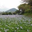 奈良橿原 今井町の散策とホテイアオイの観賞